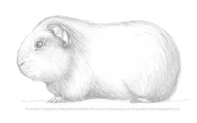 Illustration Short Haired Guinea Pig Rebecca Reynolds BA Hons