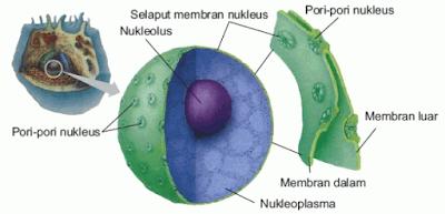 Struktur Nukleus (Inti Sel)