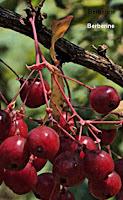 Remède plante pour maladie Alzheimer
