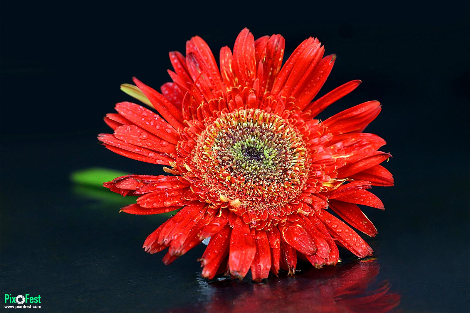 redsunflower,flowers,nature,flower,redsunflower,sunflowerseed,sunflowers,flowersphotography,photography,redsunflowerwithwater,redsunflowerwithwaterdrop,summer,pixofest