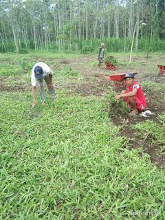 Rumput gajah lokal rumput gajah paitan di Magetan jawa timur dari kebun kita tahun 2021