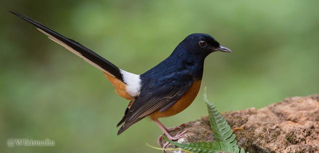 Anis Kembang VS Murai Batu.. KHAS Burung Kontes Indonesia