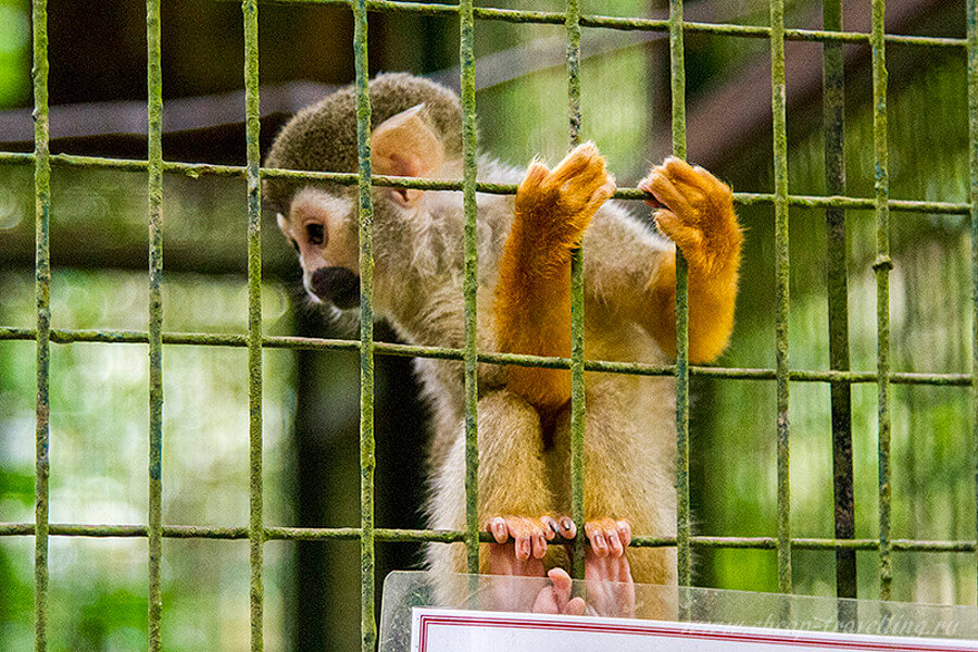 Детёныш обезьяны носача