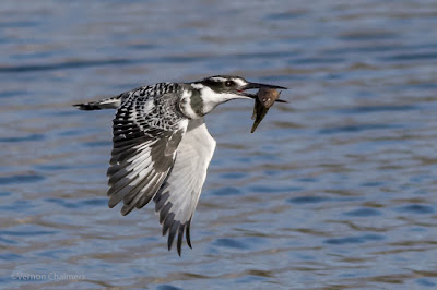 Pied Kingfisher in Flight - Canon EOS 7D Mark II / 400mm Lens