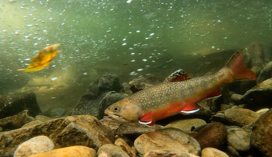 Photo of the Month: Backcountry Brook Trout