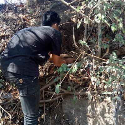 Menanam Pohon Serut Sebagai Bonsai dan Tanaman Hias
