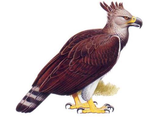 Friday News: Haast Eagle(Harpagostris moorei) – the man ...