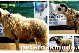 Domba ekor tipis domba lokal indonesia