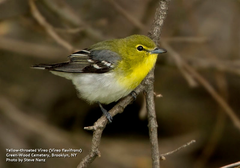 Yellow throated vireo fall - photo#52