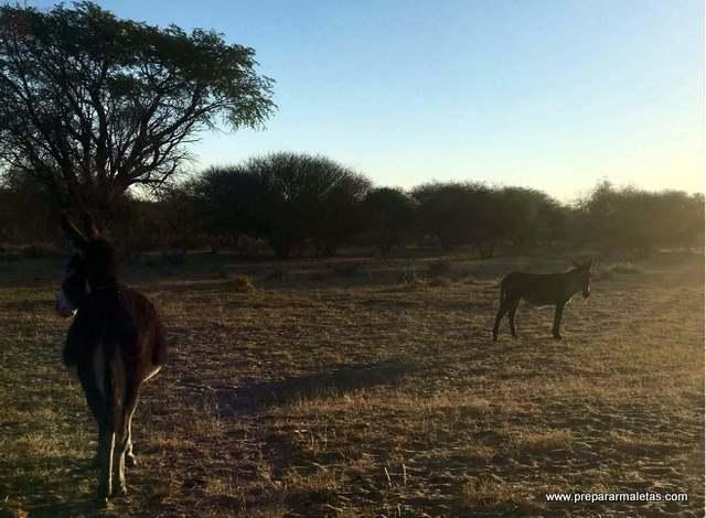 burros en Botsuana