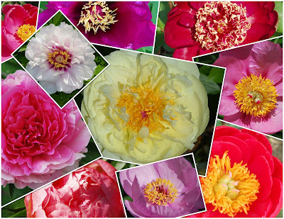Peony Flower Bloom Collage