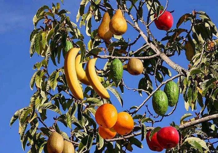 Arbre Martine 24/06/2018 trouvé par Ajonc Multi-fruit-tree