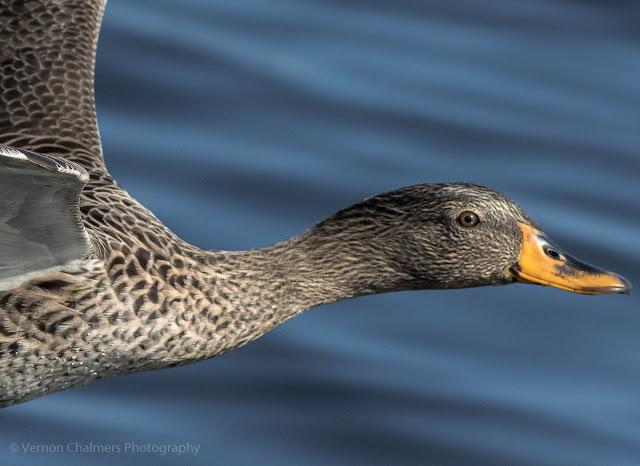 Yellow-Billed Duck over The Diep River Woodbridge Island