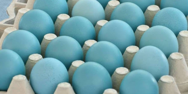 Why are some eggs blue?