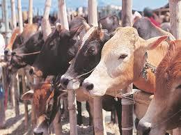FATEHPUR: जिले की  सबसे बड़ी गौशाला बनी कब्रगाह, योगी सरकारमें गाय की  ऐसा हाल