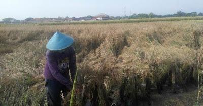 Petani padi di Kabupaten Kendal