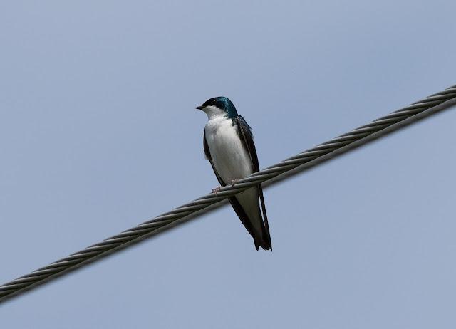 Tree Swallow - Fibre, Michigan, USA