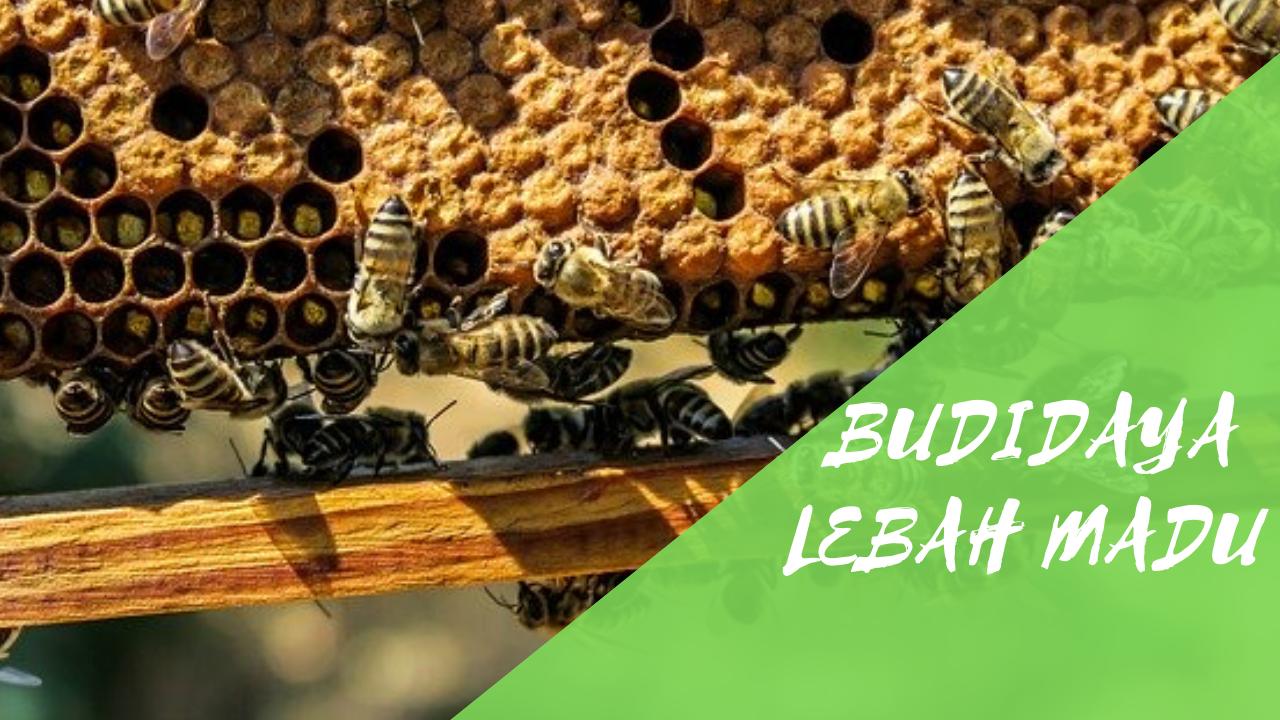 Cara Budidaya Lebah Madu yang Baik dan Benar
