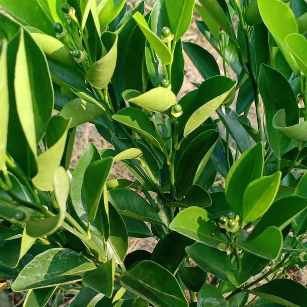 Produc Bibit Pohon Jeruk Kip Lemon Cina Sdh Berbuah Kecil2 Tinggi 50 60Cm Tr M Batam