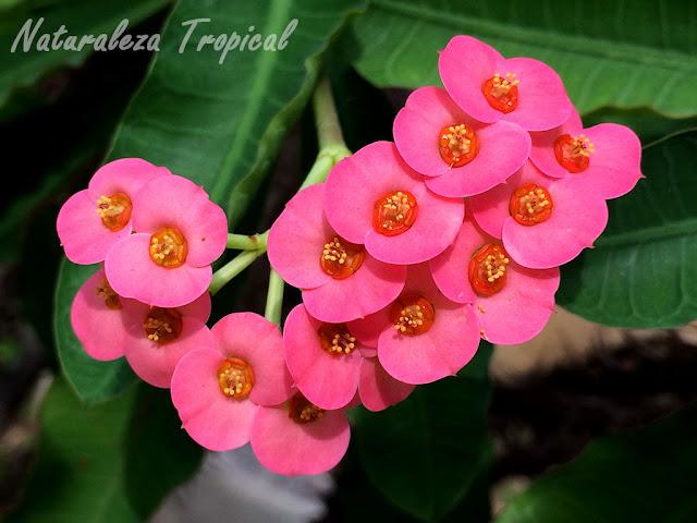 Flores de la planta conocida como corona de cristo, Euphorbia milii