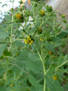 Sigesbeckia orientalis - Herbe de Saint-Paul - Colle-colle