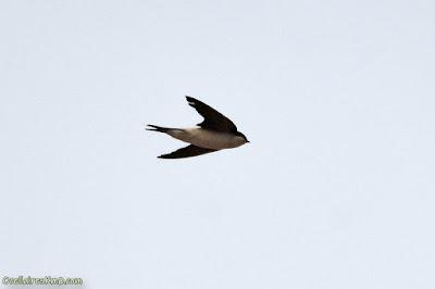 Oreneta cuablanca en vol