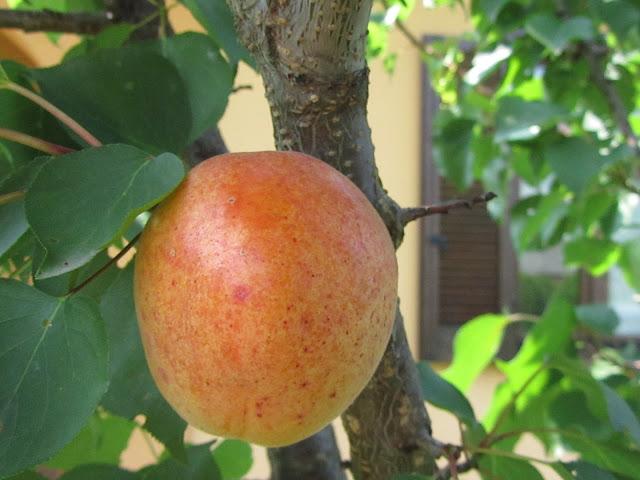 Albicocca varietà Pisana
