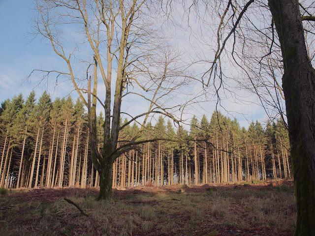 Eine Lichtung im Wald. Die Fichten im Hintergrund sehen noch gesund aus. Aber viele Fichten im Wald sind trocken oder auch schon abgeholzt.