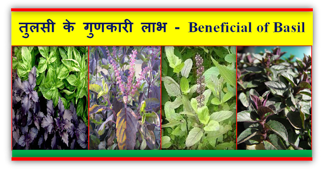 तुलसी एक वनस्पति वरदान है , तुलसी के गुणकारी लाभ - Basil is a botanical boon, Beneficial of Basil