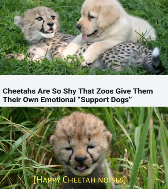 """happy cheetah noises - Cheetahs Are So Shy That Zoos Give Them Their Own Emotional """"Support Dogs"""" Happy Cheetah Noises"""