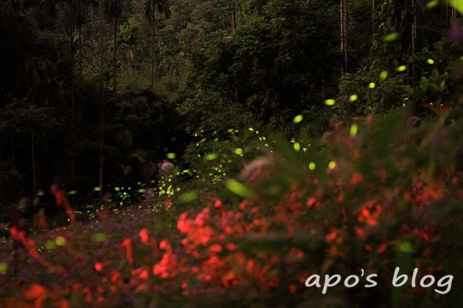 雲林螢火蟲季-古坑山豬湖步道賞螢