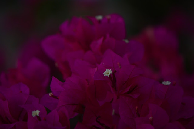 bougainvillea, photography, amy myers, journal of a thousand things, desert garden