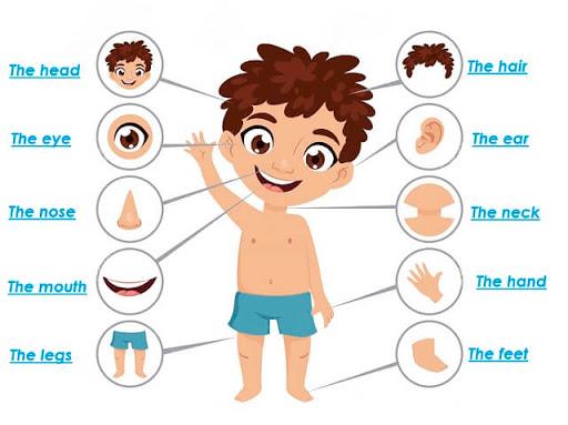 أجزاء جسم الإنسان باللغة الانجليزية