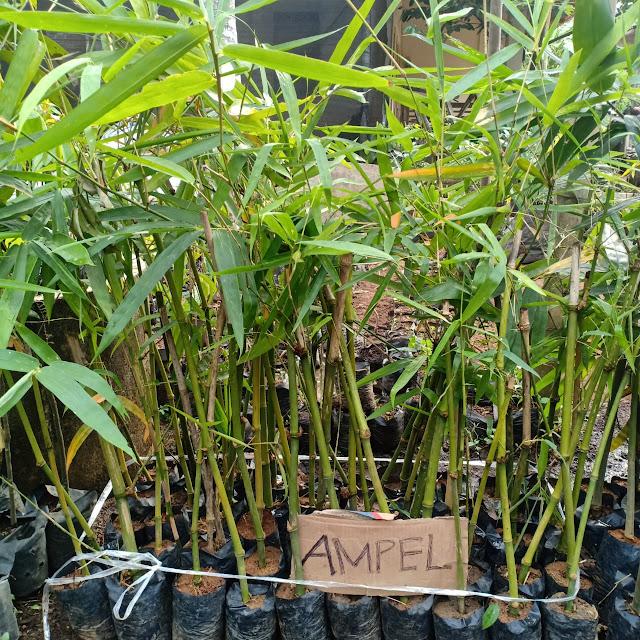 Bambu Petung  Bambu Apus  Bambu Kuning  Bambu Ampel