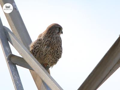 Cernícalo vulgar hembra (Falco tinnunculus)