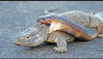 Ular kobra makan kadal monitor