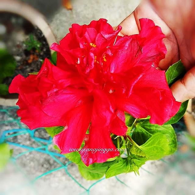 Bunga raya merah berlapis
