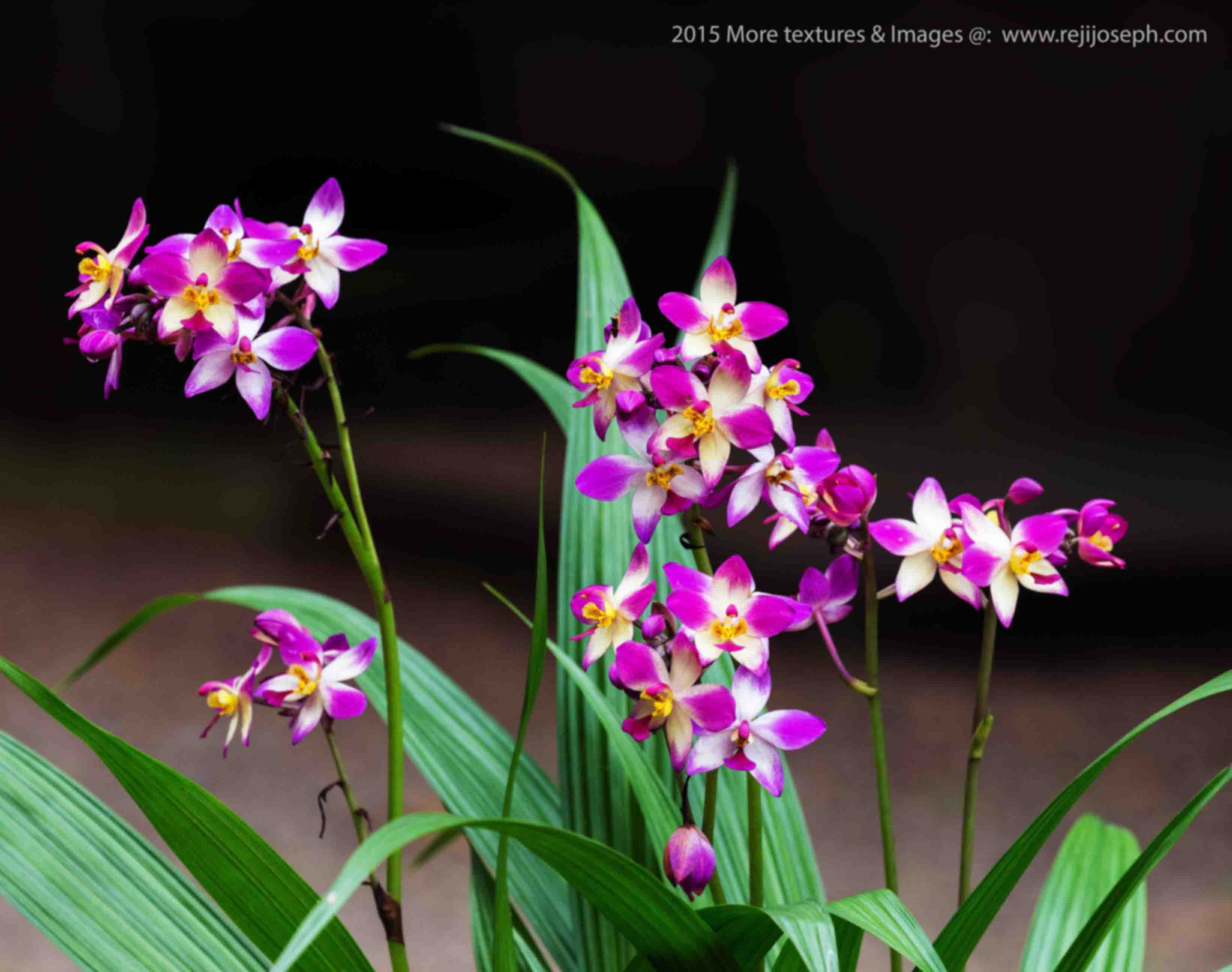 Orchid flower 00002