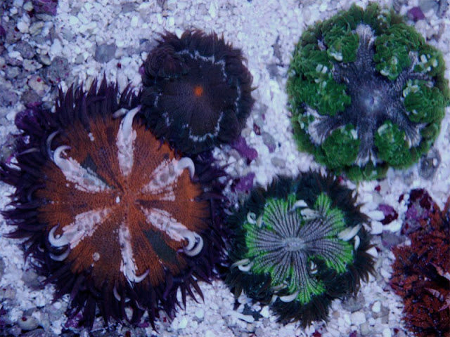 a group of beaded anemone