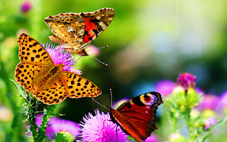 Butterflies on Puple Flowers HD Nature Wallpaper