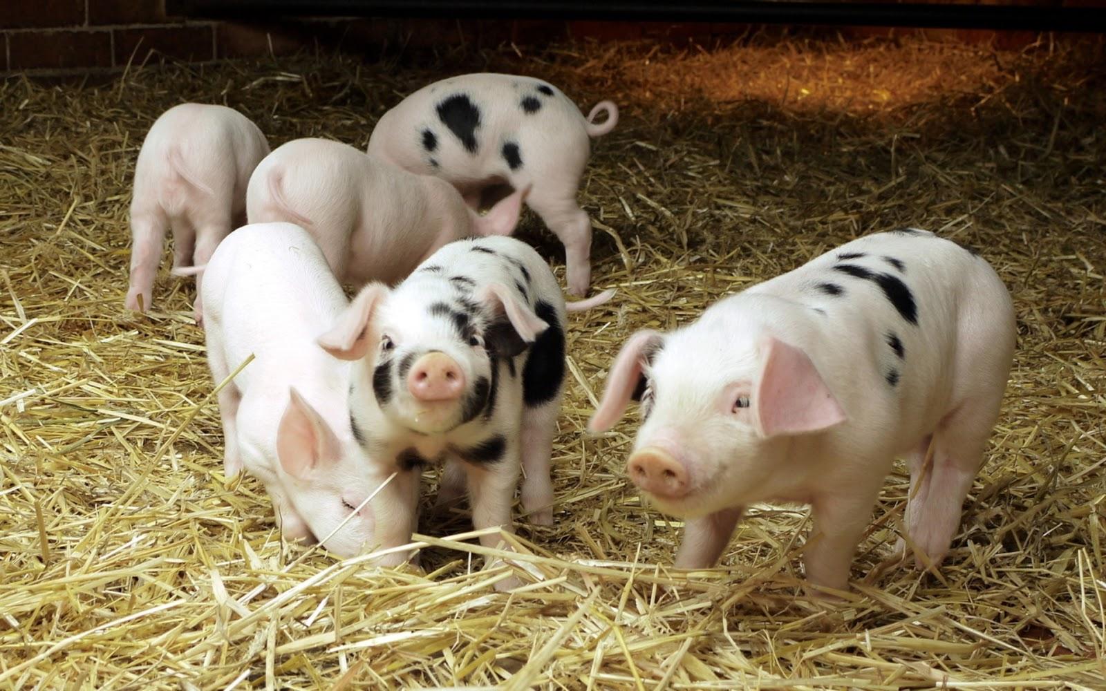 Cute Piglets Wallpaper Cute Pigs Mystery Wallpaper