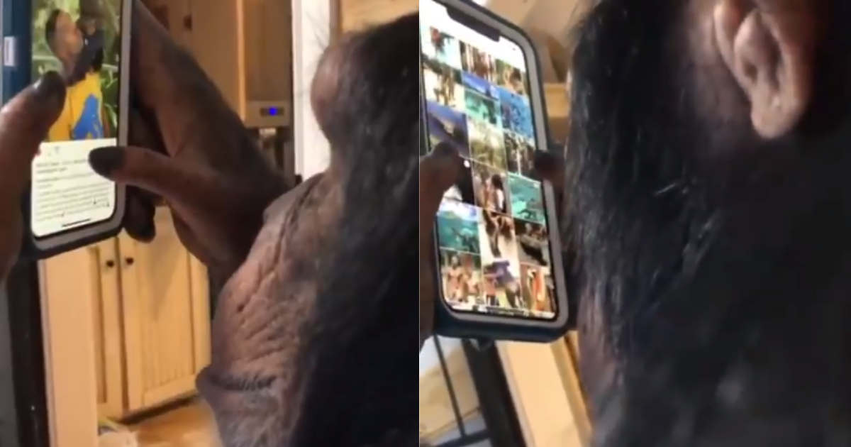 Video of Chimp Expertly Scrolling Instagram App Impresses Netizens, Animal Experts Not Happy