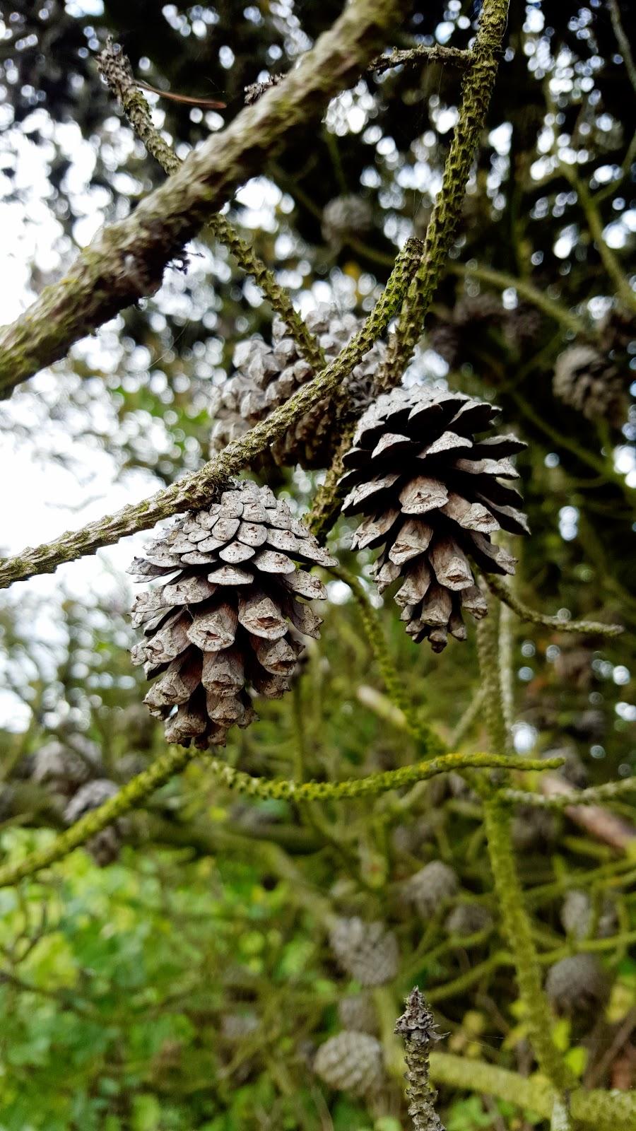 Autumn Walks And Pine Cones Photos
