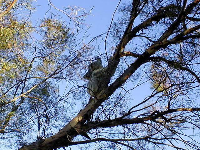 Koala mother and baby in a melaleuca tree in a garden in Pittsworth, Queensland, Australia. Photographed by Susan Walter. Tour the Loire Valley with a classic car and a private guide.