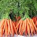 Inilah Pedoman Teknis Budidaya Tanaman Wortel (Daucus carrota L)