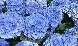 hydrangea macrophylla hortensia blue azul flower flor