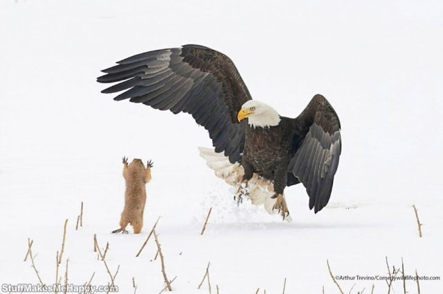 Eagle versus prairie dog