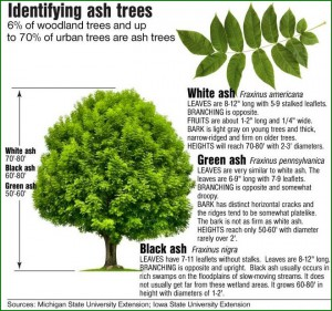 How to Identify an Ash Tree