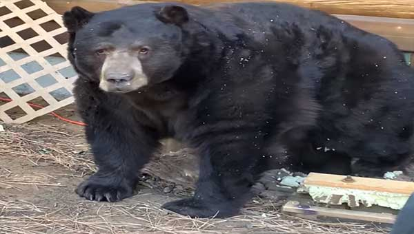 Family Shocked To Find Giant Bear Has Moved In Under Their House