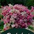 Ha Giang in November: Charming With Buckwheat Flowers Season